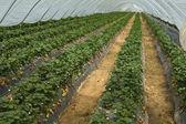 Erdbeer-produktion — Stockfoto