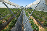 Strawberry greennhouses — Stock fotografie
