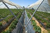 Erdbeer greennhouses — Stockfoto
