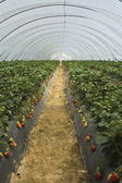 Strawberry furrows — Stockfoto
