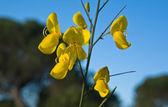 Spanish broom flowers — Stock Photo