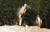 Griffon vultures — Stockfoto