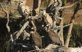Gruppo di avvoltoi — Foto Stock