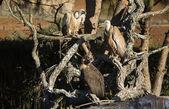 Vários abutres empoleirados — Foto Stock