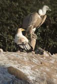 Egyptian Vulture and Griffon Vulture — Stock Photo
