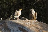 Avvoltoio egiziano e aegypius — Foto Stock