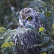 Short-eared Owl camouflaged — Stock Photo