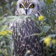 Short-eared Owl hide — Stock Photo