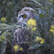 Short-eared owl between the flowers — Stock Photo