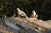Egyptian Vulture and cinereous — Stock Photo