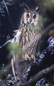 Long-eared Owl perched — Stock Photo
