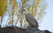 Young vulture — Stock Photo