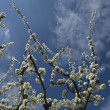 Blossoming branches over blue sky — Stock Photo