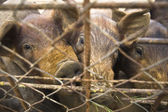 Piglets behind the fence — Stock Photo