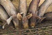 Iberian pig farming — Stock Photo