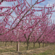 Peach tree line in Bloom — Stock Photo