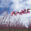 Branch of Peach tree — Stock Photo