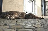 通りで休む 2 つの水犬 — ストック写真