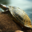 Red-eared sliders — Stock Photo