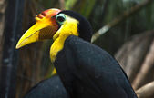 Wrinkled Hornbill — Stock Photo