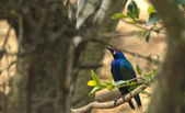 Lesser Blue-eared Glossy-starling — Stock Photo