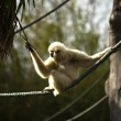 White handed gibbon — Stock Photo