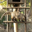 Ring-tailed Coati — Stock Photo