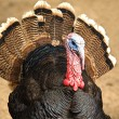 Stock Photo: Meleagris gallopavo domesticus