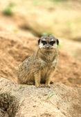 Alert Meerkat — Stock Photo