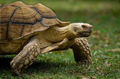 Afrikaanse gestimuleerd schildpad — Stockfoto