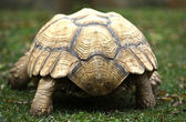 Back of African Spurred Tortoise — Stock Photo