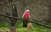Galah Parrot — Stock Photo