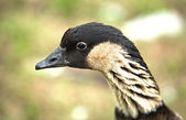 A Canada goose — Stock Photo