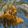 Date-palm Tree — Stock Photo