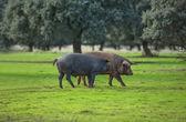 Iberian Pigs — Stock Photo