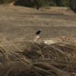 Stock Photo: White-crowned Black Wheatear