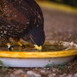 Постер, плакат: Harris Hawk drinking