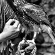 Stock Photo: Caress my falcon