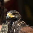 Постер, плакат: Harris hawk portrait