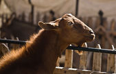 Brown goat and fence — Foto de Stock