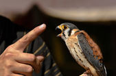 Kestrel and finger — Stock Photo