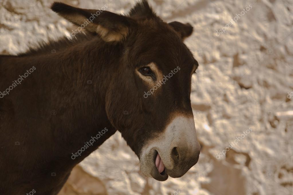 驴农场动物的棕褐色站关闭古代巴达霍斯