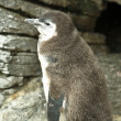 Stock Photo: Penguin chick