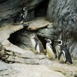 Stock Photo: Family of penguins walking on stones