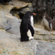 Stock Photo: Rockhopper penguin