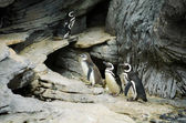 Family of penguins walking on the stones — Stock Photo