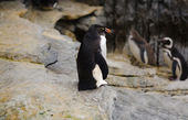 Rockhopper penguin — Stock Photo
