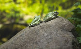 Green toads on rock — Stock Photo