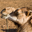 Ugly camel — Stock Photo #39986319