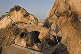 Camels feed — Stock Photo